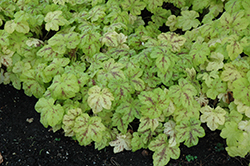 Yellowstone Falls Foamy Bells (Heucherella 'Yellowstone Falls') at Randy's Perennials