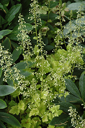 Lime Marmalade Coral Bells (Heuchera 'Lime Marmalade') at Randy's Perennials