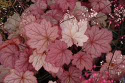 Georgia Peach Coral Bells (Heuchera 'Georgia Peach') at Randy's Perennials
