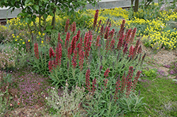 Red Feathers (Echium amoenum) at Randy's Perennials