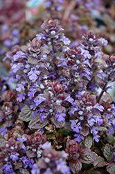 Bronze Beauty Bugleweed (Ajuga reptans 'Bronze Beauty') at Randy's Perennials