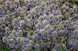 Blue Glitter Sea Holly (Eryngium planum 'Blue Glitter') at Randy's Perennials