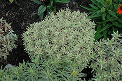 First Blush Spurge (Euphorbia polychroma 'First Blush') at Randy's Perennials