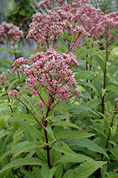Baby Joe Dwarf Joe Pye Weed (Eupatorium dubium 'Baby Joe') at Randy's Perennials