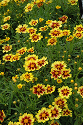 Enchanted Eve Tickseed (Coreopsis 'Enchanted Eve') at Randy's Perennials