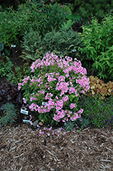 Pixie Twinkle Garden Phlox (Phlox paniculata 'Pixie Twinkle') at Randy's Perennials