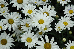 Daisy May Shasta Daisy (Leucanthemum x superbum 'Daisy Duke') at Randy's Perennials