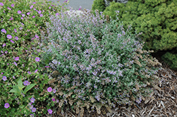 Cat's Meow Catmint (Nepeta x faassenii 'Cat's Meow') at Randy's Perennials