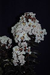 Moonlight Magic™ Crapemyrtle (Lagerstroemia 'PIILAG-IV') at Randy's Perennials