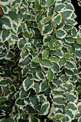 Variegated Creeping Fig (Ficus pumila 'Variegata') at Randy's Perennials
