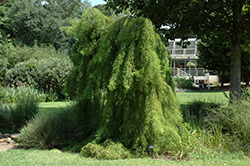Falling Waters Baldcypress (Taxodium distichum 'Falling Waters') at Randy's Perennials