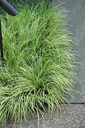 Grassy-Leaved Sweet Flag (Acorus gramineus 'Ogon') at Randy's Perennials