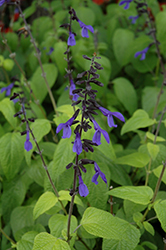 Black And Bloom Sage (Salvia guaranitica 'Black And Bloom') at Randy's Perennials