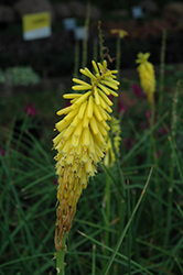 Echo Yellow Torchlily (Kniphofia uvaria 'Echo Yellow') at Randy's Perennials