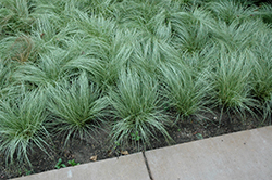 Amazon Mist Sedge (Carex comans 'Amazon Mist') at Randy's Perennials