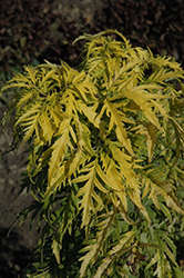 Morden Golden Glow Elder (Sambucus racemosa 'Morden Golden Glow') at Randy's Perennials