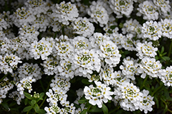 Snowflake Candytuft (Iberis sempervirens 'Snowflake') at Randy's Perennials