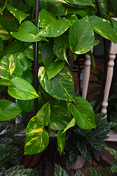 Golden Pothos (Epipremnum aureum) at Randy's Perennials