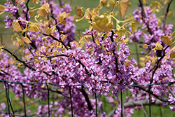 The Rising Sun Redbud (Cercis canadensis 'The Rising Sun') at Randy's Perennials