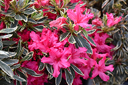 The Robe Azalea (Rhododendron 'The Robe') at Randy's Perennials