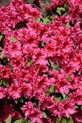 Red Ruffles Azalea (Rhododendron 'Red Ruffles') at Randy's Perennials