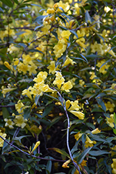 Carolina Yellow Jessamine (Gelsemium sempervirens) at Randy's Perennials