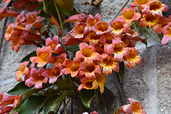 Tangerine Beauty Cross Vine (Bignonia capreolata 'Tangerine Beauty') at Randy's Perennials