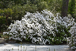 Delaware Valley White Azalea (Rhododendron 'Delaware Valley White') at Randy's Perennials