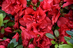 Encore® Autumn Fire™ Azalea (Rhododendron 'Roblez') at Randy's Perennials