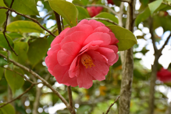 Governor Mouton Camellia (Camellia japonica 'Governor Mouton') at Randy's Perennials