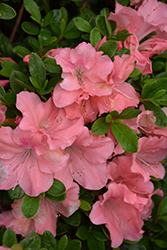 Encore® Autumn Debutante™ Azalea (Rhododendron 'Roblel') at Randy's Perennials