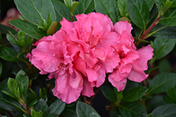 Bloom-A-Thon® Pink Double Azalea (Rhododendron 'RLH1-2P8') at Randy's Perennials