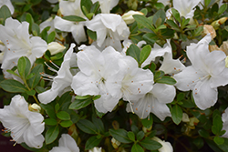 Encore® Autumn Angel™ Azalea (Rhododendron 'Robleg') at Randy's Perennials