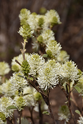Mt. Airy Fothergilla (Fothergilla major 'Mt. Airy') at Randy's Perennials