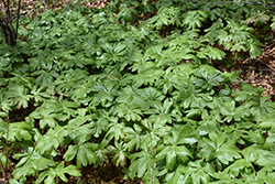 Mayapple (Podophyllum peltatum) at Randy's Perennials