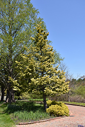 Cripps Gold Falsecypress (Chamaecyparis obtusa 'Crippsii') at Randy's Perennials