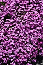 Emerald Pink Moss Phlox (Phlox subulata 'Emerald Pink') at Randy's Perennials