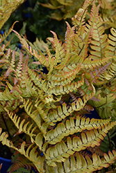 Brilliance Autumn Fern (Dryopteris erythrosora 'Brilliance') at Randy's Perennials