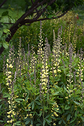 Carolina Moonlight False Indigo (Baptisia 'Carolina Moonlight') at Randy's Perennials