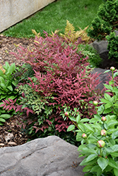 Obsession™ Nandina (Nandina domestica 'Seika') at Randy's Perennials