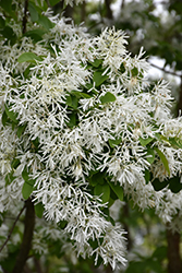 Chinese Fringetree (Chionanthus retusus) at Randy's Perennials