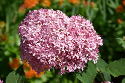 Invincibelle® Spirit Smooth Hydrangea (Hydrangea arborescens 'NCHA1') at Randy's Perennials