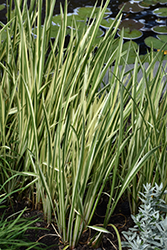 Variegated Sweet Flag (Acorus calamus 'Variegatus') at Randy's Perennials