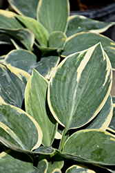 Sugar Daddy Hosta (Hosta 'Sugar Daddy') at Randy's Perennials