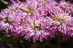 Grand Mum Beebalm (Monarda 'MCmum') at Randy's Perennials