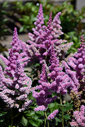 Little Vision In Purple Chinese Astilbe (Astilbe chinensis 'Little Vision In Purple') at Randy's Perennials