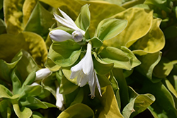 Maui Buttercups Hosta (Hosta 'Maui Buttercups') at Randy's Perennials