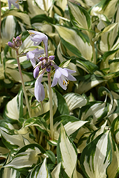 Loyalist Hosta (Hosta 'Loyalist') at Randy's Perennials