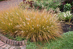 Hameln Dwarf Fountain Grass (Pennisetum alopecuroides 'Hameln') at Randy's Perennials