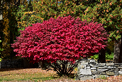 Winged Burning Bush (Euonymus alatus) at Randy's Perennials